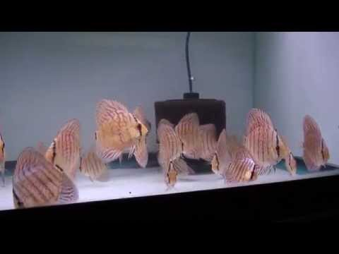 Young Turquoise Discus Fish  -  Gwynnbrook Farm