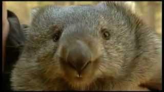 Funny Wombat - Вомбат
