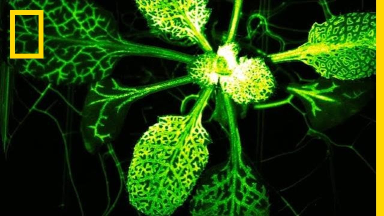 Mutant Plant Glows When Attacked | National Geographic