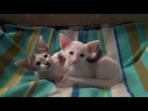 Oriental Shorthair Bicolour Kittens Romeo Ismena 2016 part 1