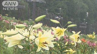 """""""日本最大""""夏のスキー場に約400万輪のユリの花(19/08/11)"""