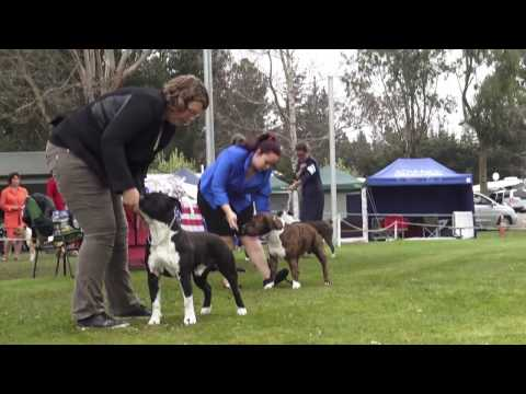 Best of American Staffordshire Terrier (Amstaff)