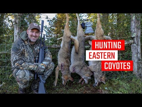 Hunting Eastern Coyotes - Coyote Hunting