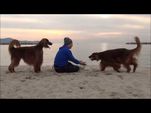Irish setter playing on the beach