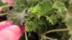 Lemon scented pelargonium for mosquito control!!?
