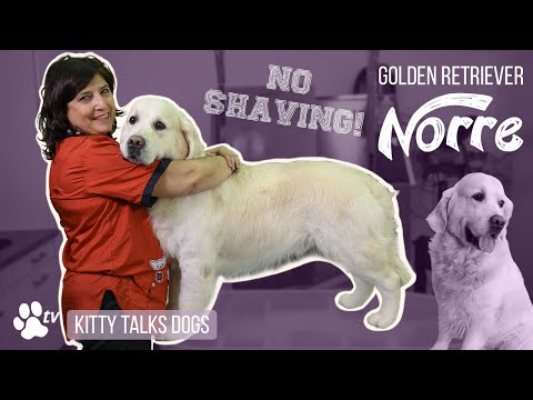 Grooming Norre the Golden Retriever   Kitty Talks Dogs  TRANSGROOM
