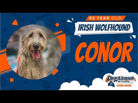 2 YR. OLD Irish Wolfhound (Conor) Best Dog Trainers in Fredericksburg