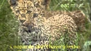 Amal: Leopard Thumbnail