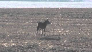 Lone coyote filmed in daytime