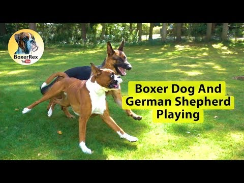 Boxer Dog And German Shepherd Playing 💗 😀