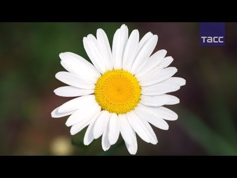 Ромашка — символ Дня семьи, любви и верности