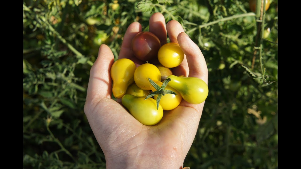 Yellow, Pear Tomatoes ...