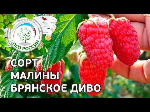 Вопрос: В чем особенности сорта малины Спутница shy?