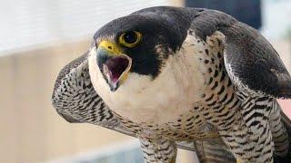 PA Falcon Cam - Harrisburg PA