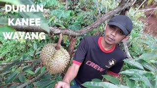 Download Video Durian Kanee Wayang 6kg Keatas MP3 3GP MP4