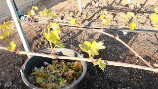 Формировка виноградного куста. Обломка нормировка куста побегами.