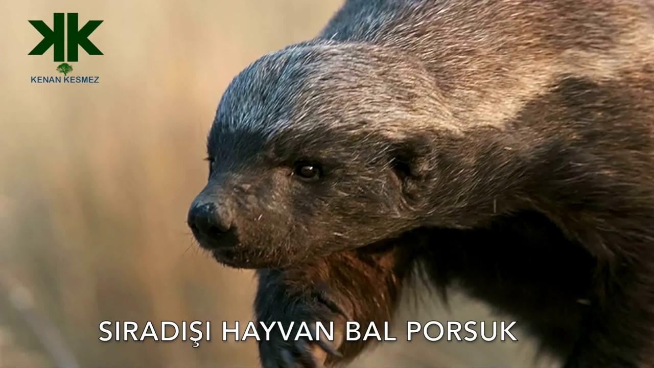 Dünyanın En Korkusuz Hayvanı: Bal Porsuğu Belgeseli