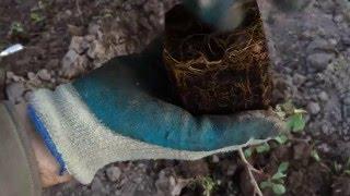 Барбарис оттавский Суперба. Berberis х ottawensis f. purpurea Superba. Посадка 2016