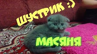 Шустрик Масяня. Шотландский котенок. Интересное видео. New.