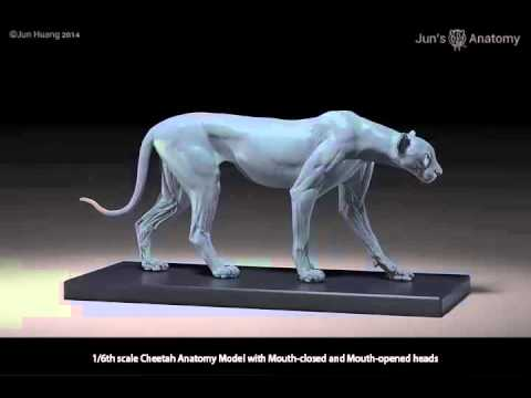 cheetah anatomy turntable - YouTube