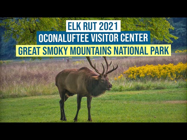 Elk Rut 2021 at the Oconaluftee Visitor Center, Great Smoky Mountains National Park