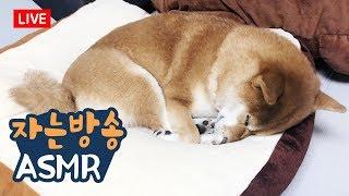 개꿀잠 자는 강아지 구경하기 / 시바견곰이탱이 라이브