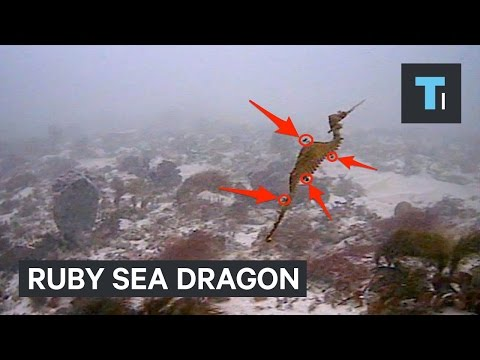 First footage of a living ruby sea dragon settled a big mystery