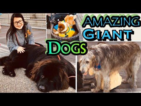[AMAZING DOGS IN JAPAN] [KARIYAHIGHWAYOASISPART1] #dogvlog