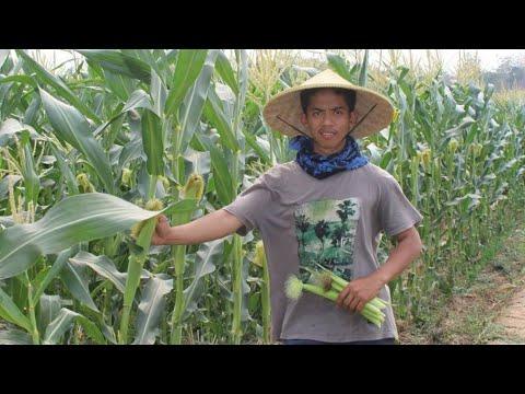 nurdin-kisah-petani-sukses-di-usia-muda-19-tahun-dimata-bapak-&-salah-1-pegawainya-asal-purwakarta
