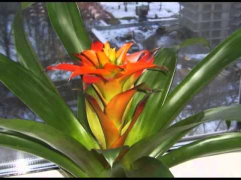 Комнатные растения Фиалки сенполии , бегонии