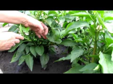 Собираем урожай перцев, сорт Калифорнийское чудо