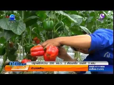 เกษตรสร้างชาติ : ปลูกพริกหวาน 200 ตารางวา แค่ 2 เดือนครึ่งขายได้ 3 แสน