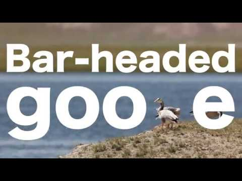 How Does The Bar-Headed Goose Fly In High Altitude?