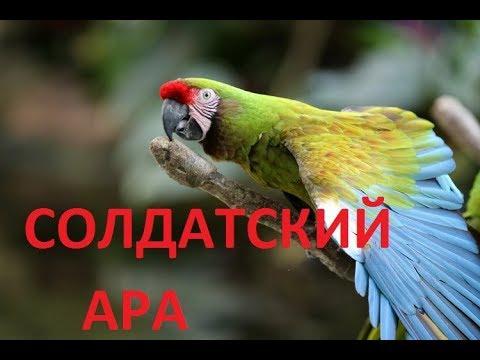 СОЛДАТСКИЙ АРА (ara militaris) /ПОПУГАИ НА ПРИРОДЕ/АРА