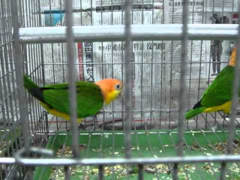 White bellied caique(normal and green thigh)