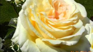 Yellow Roses Marty Robbins