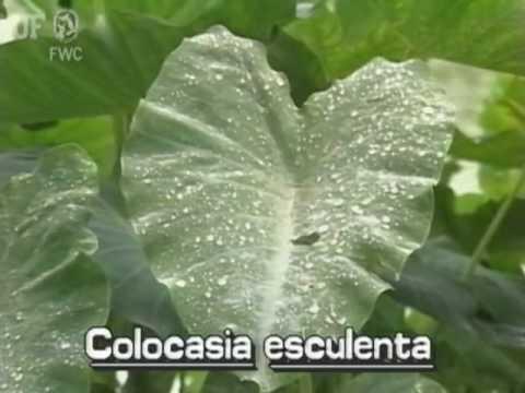 wild taro / dasheen (Colocasia esculenta)