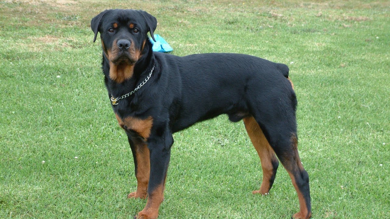 5 Diffe Kinds Of Rottweilers You