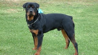 5 Different Kinds of Rottweilers