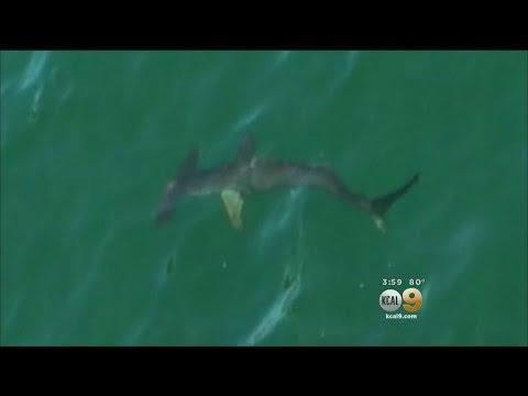 Unusual Looking Hammerhead Shark Spotted In Huntington Beach