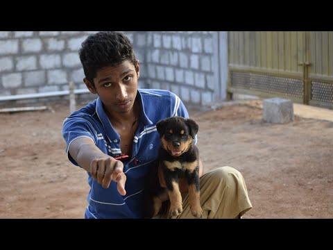 Rottweiler –  பண்புகள் (Information) – தமிழ்