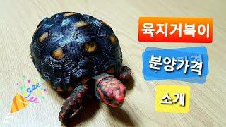 거북이 분양 소개/체리헤드육지거북이
