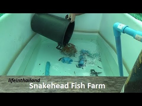 Snakehead Fish Farm Update 6, we have problems, moving the fish to a bigger tank.