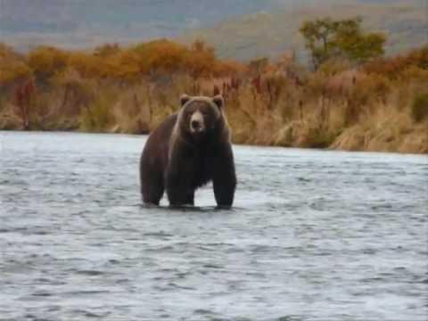 Kodiak Bear Fishing Karluk River