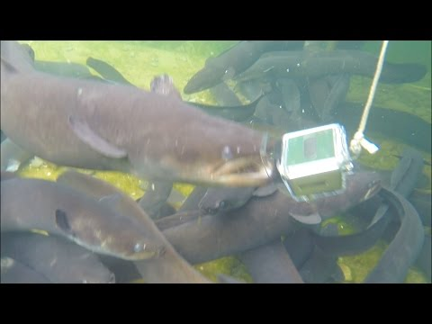 Giant freshwater eels tried to eat a Gopro camera