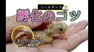 ★【飼育技師が解説】コールダックの孵化のコツ&卵のひみつ