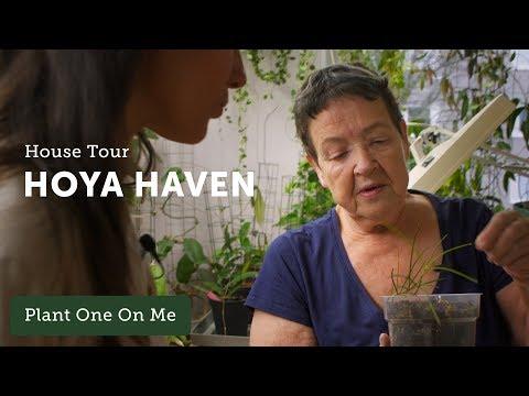 400+ Hoya Houseplant