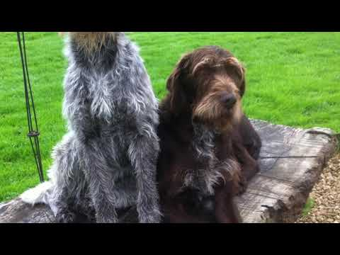 German Wirehaired Pointers - Hard working  loyal Falconry dogs