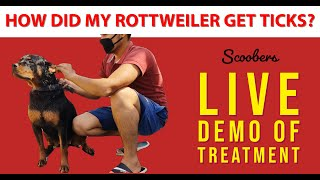 How did my Rottweiler get Ticks? | Rottweiler Dog Breed | Ticks Treatment In Home | Scoobers