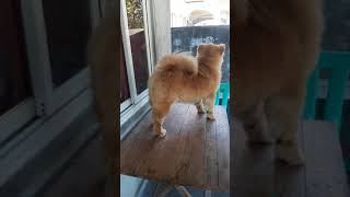 1 year old chow chow